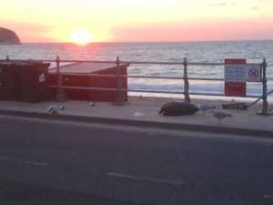 Gulls raiding dumped rubbish bag in Swanage.